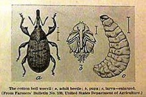 15 boll weevil engraving