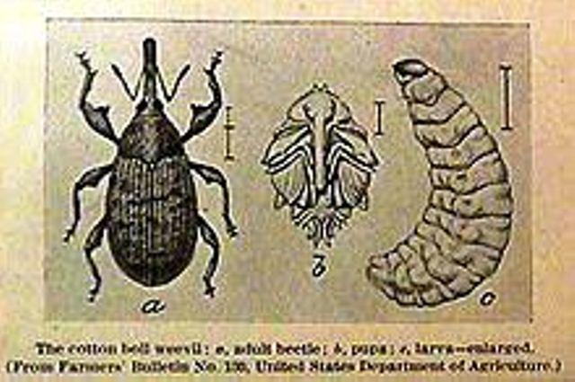 15 boll weevil engraving