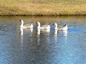 17 three geese