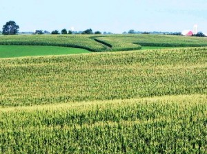 05 cornfield 2