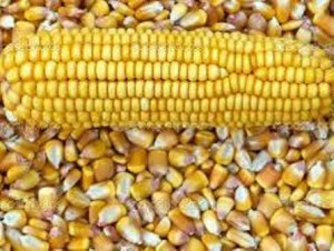 01 corn and kernels