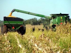 01 corn harvesting