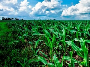 01 cornfield
