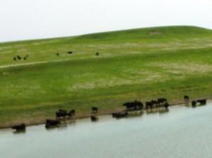 06 cow pools