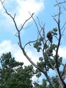 16 eagle