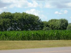19 corn waist high