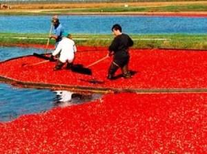 19 cranberry harvesting