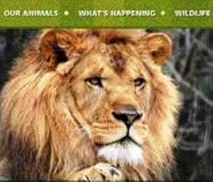 03 zoo lion