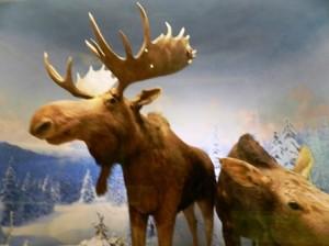 23 moose