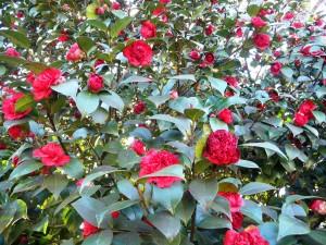 02 Camellia blooms