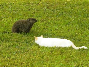 03 C Groundhog Facing Cat Cat