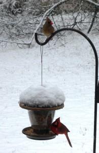 08 cardinals feeding