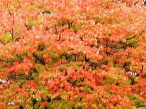 24.Maple Tree