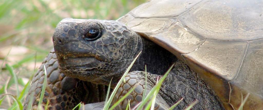 august.tortoise.w