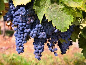 food grapes