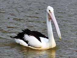 24.bird murray river
