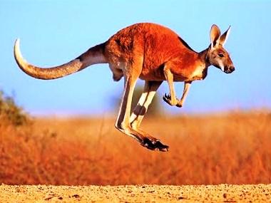 25.red kangaroo