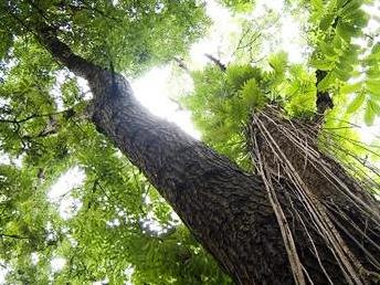 09.05. mahogany forest